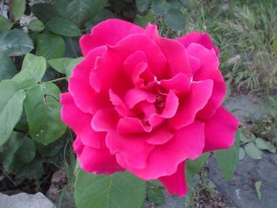 Rosas de un día